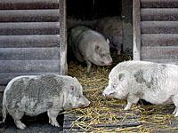 Drei Schweinchen - © chival / aboutpixel.de